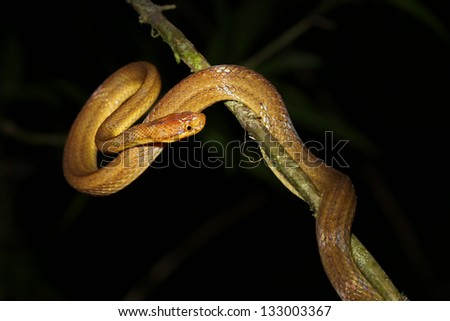 Unidentified snake species hangs in a tree above a river in the rainforest of Ranomafana, Madagascar.