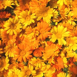 Uniform background of bright orange calendula flowers. Close up, top view. Place for lettering.