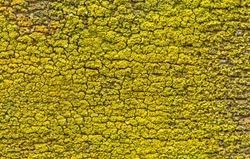 uniform texture of yellow-green lichen. nature texture of yellow and green lichen on wood. uniform, homogeneous natural texture of yellow-green lichen.