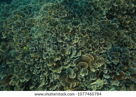 Unimaginable size of Yellow scroll coral garden (Turbinaria reniformes). Picture was taken in the Ceram sea, Raja Ampat, West Papua, Indonesia