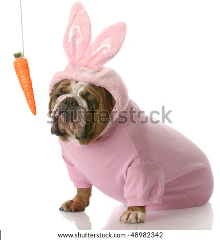 bulldog dressed up as easter bunny sitting beside carrot dangling