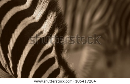 Unique abstract zebra photo in monochrome,taken in Addo Elephant national park,