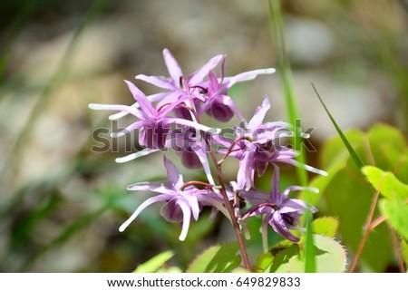 Unique flowers of barrenwort, bishop's hat, fairy wing or horny goatweed Stockfoto ©