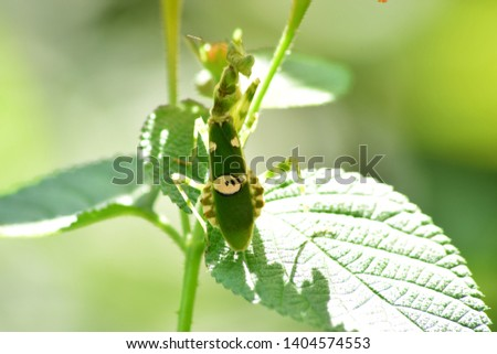 Unique grasshoppers - The beauty of grasshoppers living in the wild. Wildlife photography. #1404574553