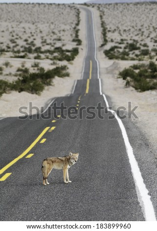 Unique photo of a Coyote on a road (taken in Death Valley National Park, California, USA.)