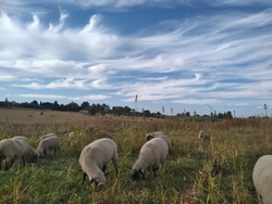 Unique photo with a view from the ground up, of a front face view closeup of sheep grazing in a sorghum field and spectacular cold front white streaky twirl cloud formation in a blue sky above