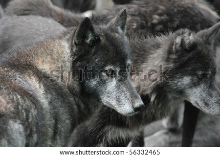 Unique shot of a pack of wolves, close up