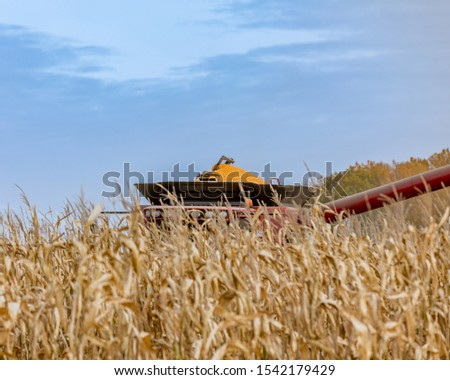 Unique view of top of combine with hopper full of shelled corn kernels rising above rows of cornstalks while harvesting cornfield. Harvest season in central Illinios #1542179429