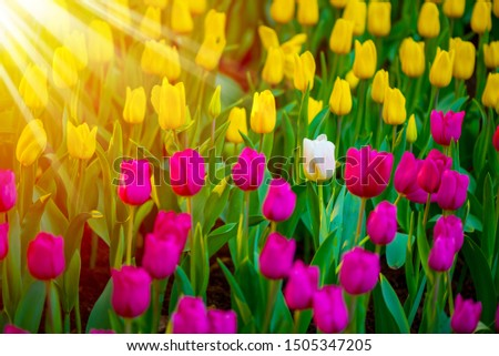 Unique white tulip among many purple and yellow tulips with green leaves background, one flower in the different color with sunshine, individuality and difference concept.