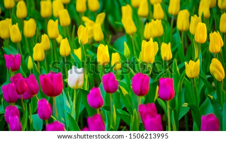 Unique white tulip among many purple and yellow tulips with green leaves background, one flower in the different color, individuality and difference concept.