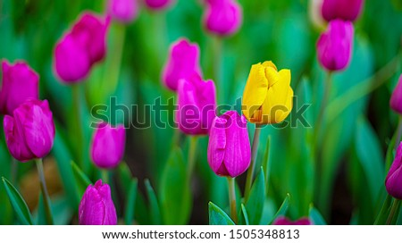 Unique yellow tulip among many purple tulips with green leaves background, one flower in the different color, individuality and difference concept.