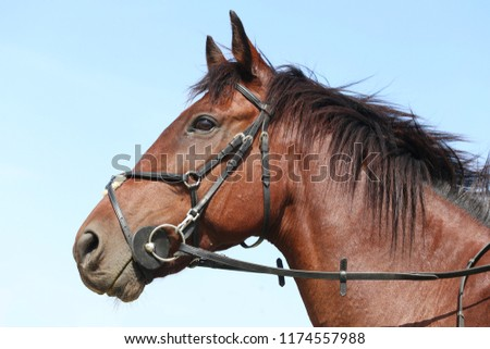 Unknown contestant rides at dressage horse event in riding ground outdoor. Headshot close up of a dressage horse during competition event outdoors. #1174557988
