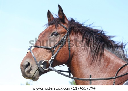 Unknown contestant rides at dressage horse event in riding ground outdoor. Headshot close up of a dressage horse during competition event outdoors. #1174557994