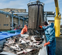 Unloading Fish:  Fresh caught halibut drop from the bottom of a transport basket after being hoisted by crane from a fishing boat at a dock in Alaska.