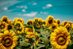 Unopened sunflower flower on the background of other bright sunflowers and blue sky with light clouds on a sunny day