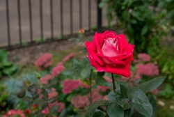 Unreal rose in autumn nature of Russia (Moscow oblast)  October 3.Scarlett coloe  and other aututn  flowers on green grass (but nights is cold  about 12°C)   (the so-called Indian autumn to Russia)