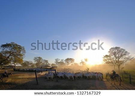 Unrecognizable cowboys with cows at a farm with sign Fazenda Paraiso - Paradise Farm portuguese text, along the Transpantaneira road in the Pantanal, near Pocone, Mato Grosso, Brazil, South America #1327167329