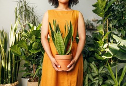 Unrecognizable florist woman holding a pot with sansevieria plant