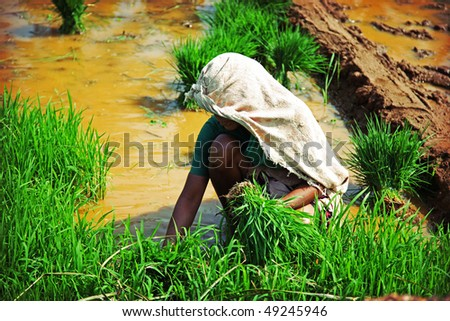 unrecognizable indian woman, planting rice photo