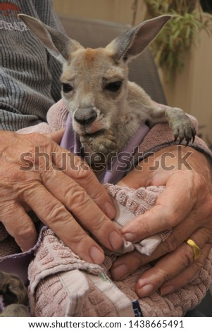 Unrecognizable Person holding a Kangaroo joey. A kangaroo joey is toilet trained from birth #1438665491