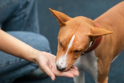 Unrecognizable person, man or woman, hand of owner is feeding beautiful smart hungry dog from arm. Training of Basenji pedigree dog, cute beautiful pet, puppy outdoors.