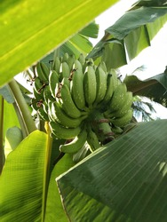 unripe banana or unripe plantain with leaves