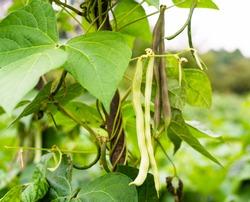 Unripe bean (Phaseolus vulgaris) pods, green creeping vines and leaves.