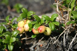 Unripe berries of lingonberry grow among green leaves. Cowberry closeup macro.