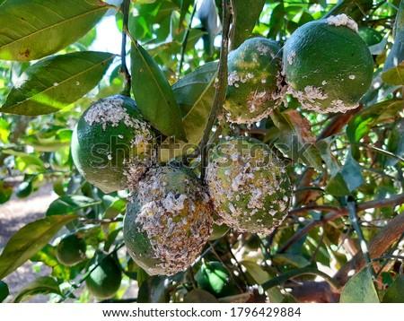 Unripe citrus fruits damaged by Citrus scale mealybug, Planococcus citri (Homoptera: Pseudococcidae). Citrus scale mealybug is the dangerous pest of citrus trees in the Mediterranean Basin