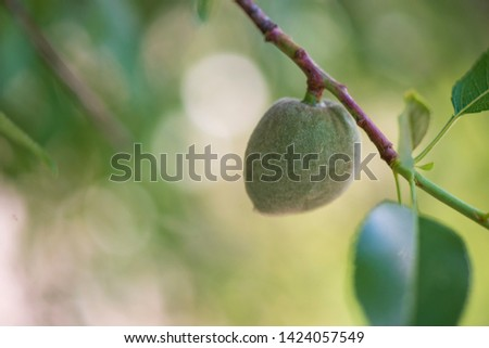 Unripe, green almond growing in spring with a beautiful bokeh background.