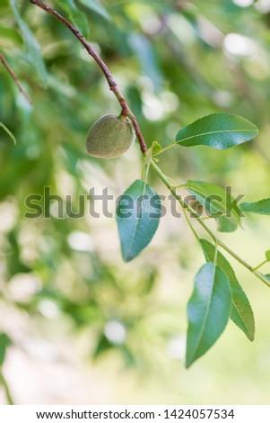 Unripe green almond on an almond tree branch.