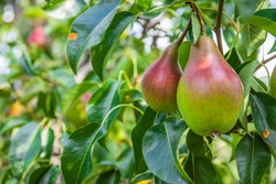 Unripe green and red pears. Young pear tree. Ripe fruit harvest. Summer.