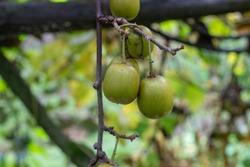 Unripe kiwi fruit on the tree
