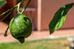 Unripe lemon on a tree in Sicily