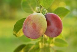 Unripe plum, organic fruits, pesticides free in the summertime.
