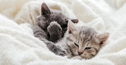 Unsatisfied Funny kittens with playful muzzles. Disgruntled kitten covers face with paw. Kitten rolls eyes in displeasure. Family dramatic quarrel of domestic grumpy kitten cats. Long web banner.