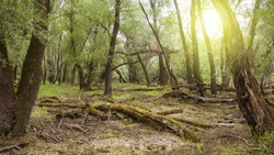 Unspoiled fresh forest nature in summertime sunlight. Green ecosysetem in sunny woodland. Fallen trees decompositing and rotting on the ground in wilderness with summer sun.