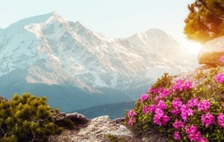 Unsurpassed sunrise in the mountains with Fresh pink rhododendron flowers. and majestic mountains peak on background, under sunlit. Amazing Natural Scene. Gorgeous Sunset at springtime. Creative image