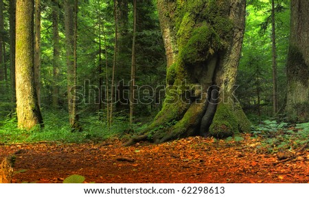 Untouched Beech Forest
