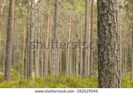 Untouched pine forest, Sweden