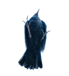 Unusual angle when photographing things and animals. View of the bird from below (ventral side). Blackbird. The concept of a non-trivial approach. Isolated oh white
