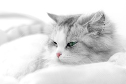 Unusual black and white cat portrait. Shallow DOF