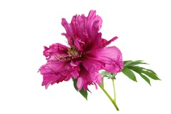 Unusual color magenta peony flower isolated on white background.