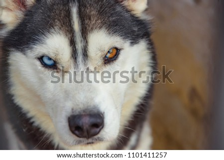 Unusual eye heterochromia. Different eyes have Husky. An unusual dog. Portrait of a Husky puppy