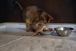 Unusual friendship of a cat and an exotic reptile, pets eat from one bowl, a purebred brown cat and a sand lizard, pets, a large bowl with cat food, a place for text