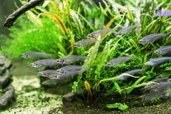 Unusual Glass catfish or ryptopterus vitreolus in aquarium