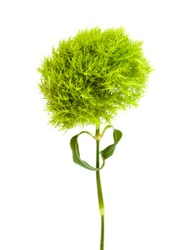 unusual green Dianthus barbatus carnation isolated on white background