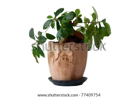 Unusual green indoor plant in a pot in  a white