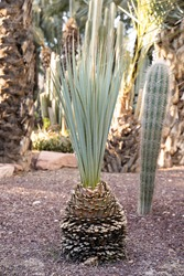 Unusual palm tree shaped cactus with brown trunk in a garden. Original and different. Vertical.