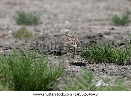 Unusual photos of an unusual bird Eurasian stone-curlew. The adult bird is photographed in a habitat habitat and demonstrates excellent camouflage. #1455264548